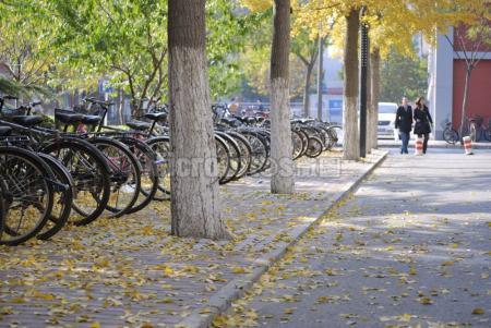 北京高校校园银杏
