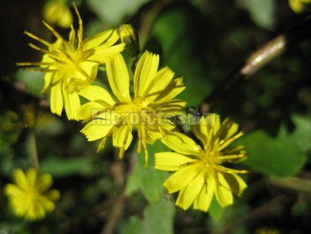 野三坡野花