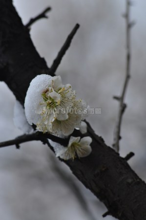 雪与绿萼梅