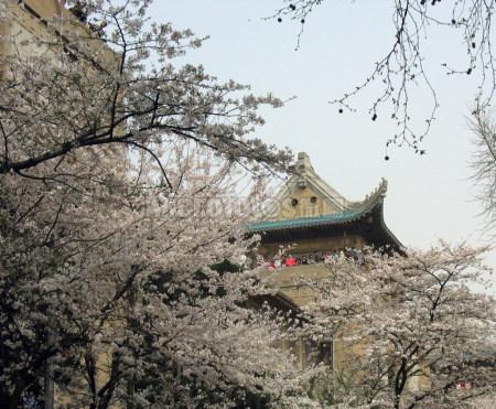 武汉大学的樱花