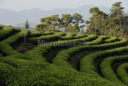 普洱茶茶山