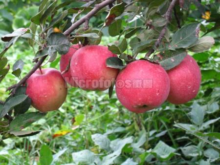 苹果树与苹果