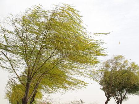 刮风的柳树