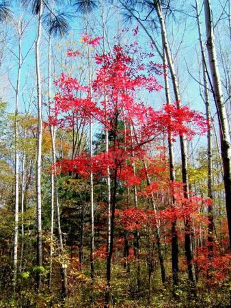 白桦树红树叶