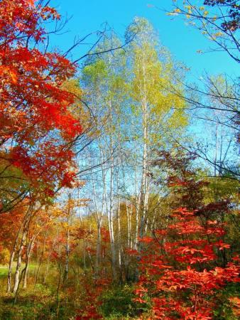 秋季的红树叶