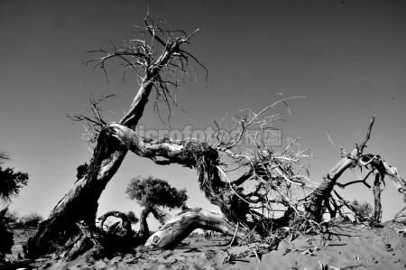 内蒙古怪树林