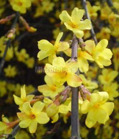 盛开的迎春花