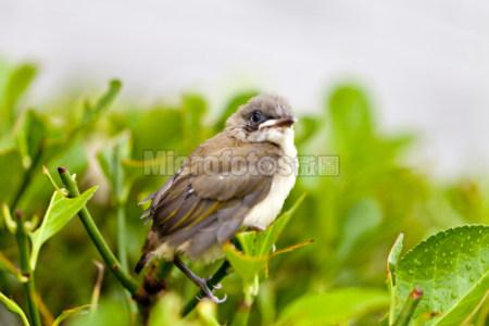 雏鸟白头翁