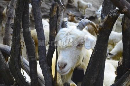 淡定的山羊