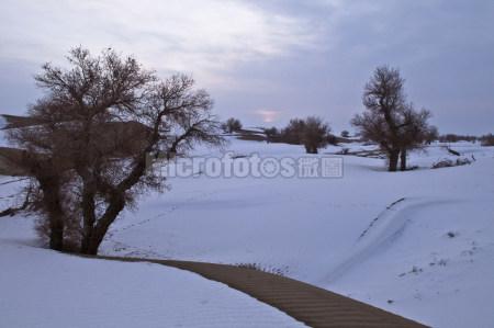 雪后的沙漠胡杨