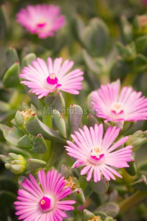 多肉植物花朵