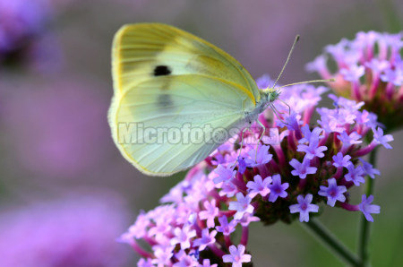 马鞭草与蝴蝶