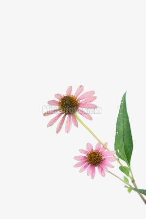 白色背景的菊花