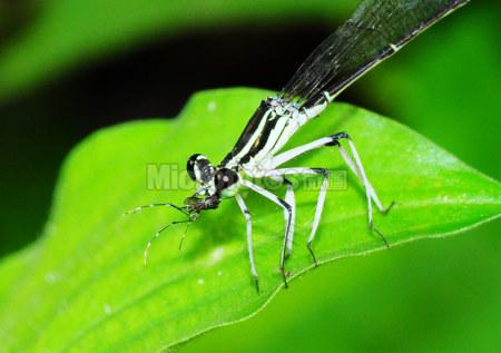 豆娘吞食黑斑蚊