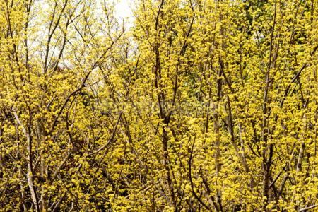山茱萸花丛