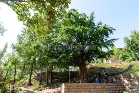 千年古银杏树