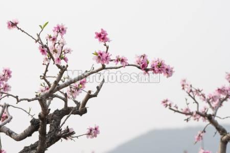 春天盛開的粉紅色桃花